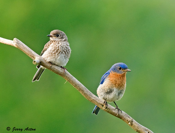 """<div class=""""jaDesc""""> <h4> Male & Juvenile Bluebird After Meal - July 29, 2009 - Video Attached </h4> <p>  After a busy mealworm feeding session, dad and baby Bluebird were hanging out together for a bit.</p> </div> </br> <center> <a href=""""http://www.youtube.com/watch?v=BB8qtKtoXXw"""" class=""""lightbox""""><img src=""""http://d577165.u292.s-gohost.net/images/stories/video_thumb.jpg"""" alt=""""""""/></a> </center>"""