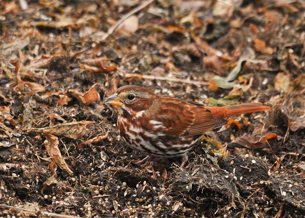 """<div class=""""jaDesc""""> <h4>Fox Sparrow Scratching - November 7 2012 - Video Attached </h4> <p> Two Fox Sparrows have been here for about a week.  They have been eluding my camera until this afternoon.  I lured them out into an open space by spreading lots of white millet on an area where they could really get into their vigorous scratching behavior.</p> </div> <center> <a href=""""http://www.youtube.com/watch?v=-5nlHZpBRkc"""" style=""""color: #0AC216"""" class=""""lightbox""""><strong> Play Video</strong></a> </center>"""