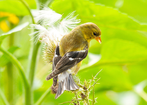 """<div class=""""jaDesc""""> <h4> Goldfinch Picking at Thistle - August 20, 2012 - Video Attached</h4> <p> I saw lots of thistle fluff drifting in the afternoon breeze.  When I investigated why there was so much in the air, I saw a pair of Goldfinches yanking them out of thistle seed heads as fast as they could.  This is a shot of the female.  In the attached video, notice the male eats the seed at the end of the fluff on every 5th or 6th yank.</p> </div> <center> <a href=""""http://www.youtube.com/watch?v=lj8XmlvLWHk"""" style=""""color: #0AC216"""" class=""""lightbox""""><strong> Play Video</strong></a> </center>"""