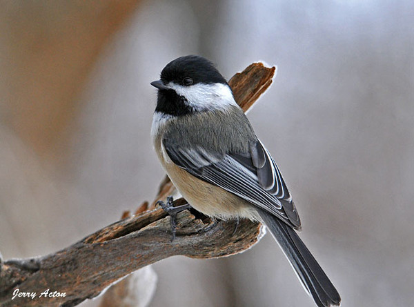 """<div class=""""jaDesc""""> <h4> Black-capped Chickadee - January 7, 2009 - Video Attached </h4> <p>I spent some time hanging out with the Chickadees as it snowed today.  I could hear the fffft sound of their wings as they flew all around, serenading me with their cheery """"chicka - dee, dee, dee"""" calls.</p> </div> </br> <center> <a href=""""http://www.youtube.com/watch?v=Av40skCaZ1k"""" class=""""lightbox""""><img src=""""http://d577165.u292.s-gohost.net/images/stories/video_thumb.jpg"""" alt=""""""""/></a> </center>"""