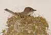 """<div class=""""jaDesc""""> <h4> Phoebe Nest Complete - April 17, 2009 - Video Attached </h4> <p>The female very meticulously weaves bits of grass and moss to form a perfect circle and then pats down the middle with her belly.  The nest is now complete and she will start laying eggs when she is satisfied that it is warm enough.</p> </div> </br> <center> <a href=""""http://www.youtube.com/watch?v=RCimhlZE60g """" class=""""lightbox""""><img src=""""http://d577165.u292.s-gohost.net/images/stories/video_thumb.jpg"""" alt=""""""""/></a> </center>"""