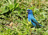 """<div class=""""jaDesc""""> <h4> Male Indigo Bunting in Tall Grass - July 27, 2010 - Video Attached </h4> <p> This male Indigo Bunting was ground feeding on white millet seed in my un-mowed grass that was taller than him. Our two Indigo Bunting families have left the area. I hope we are lucky enough to have two mating pairs again next year.</p> </div> </br> <center> <a href=""""http://www.youtube.com/watch?v=fsQw7jG05_o """" class=""""lightbox""""><img src=""""http://d577165.u292.s-gohost.net/images/stories/video_thumb.jpg"""" alt=""""""""/></a> </center>"""