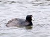 """<div class=""""jaDesc""""> <h4> American Coot Swimming - Video Attached - March 12, 2011 </h4> <p> A flock of 20 American Coots were swimming around the docks area at Meyers Point, NY this past Saturday. The attached video shows their interesting diving style.</p> </div> </br> <center> <a href=""""http://www.youtube.com/watch?v=d8KwXWT8--o"""" class=""""lightbox""""><img src=""""http://d577165.u292.s-gohost.net/images/stories/video_thumb.jpg"""" alt=""""""""/></a> </center>"""