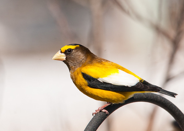 """<div class=""""jaDesc""""> <h4> Male Evening Grosbeak - Ready to Dine - March 14 2013 </h4> <p> A small flock of Evening Grosbeaks has been visiting for about a week, 6 females and 3 males.  Between meals at the feeders, they sometimes hang out in the safety of a dense viburnum bush next to our house and chatter to each other. </p> </div> <center> <a href=""""http://www.youtube.com/watch?v=Qv0sYkwTT1s"""" style=""""color: #0AC216"""" class=""""lightbox""""><strong> Play Video</strong></a> </center>"""