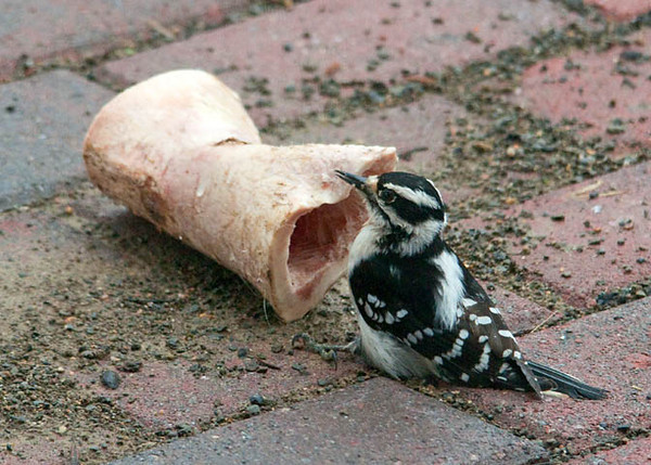 """<div class=""""jaDesc""""> <h4>Downy Likes Dog Bone - March 23, 2010 - Video Attached </h4> <p> Our dog Coby left one of his marrow bones on our brick walkway.  Just by chance I happened to notice this female Downy Woodpecker next to it pecking out the marrow.  She was there twice for about 5 minutes each time.  So I hung it up at the feeder area and she went to it again.  Must be real tasty stuff.</p> </div> </br> <center> <a href=""""http://www.youtube.com/watch?v=9dfhG_R5Y4s """" class=""""lightbox""""><img src=""""http://d577165.u292.s-gohost.net/images/stories/video_thumb.jpg"""" alt=""""""""/></a> </center>"""