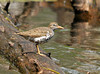 """<div class=""""jaDesc""""> <h4> Spotted Sandpiper on Windy Day - May 16, 2010 - Video Attached </h4> <p> The wind was blowing about 30MPH as this Spotted Sandpiper was searching for bugs. Notice his characteristic tail bobbing in the video.</p> </div> </br> <center> <a href=""""http://www.youtube.com/watch?v=x45l-39KbMQ"""" class=""""lightbox""""><img src=""""http://d577165.u292.s-gohost.net/images/stories/video_thumb.jpg"""" alt=""""""""/></a> </center>"""