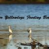 Greater Yellowlegs Feeding Behaviour