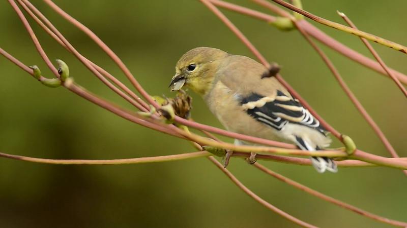 American Goldfinch Feeding On Prairie Dock Seeds