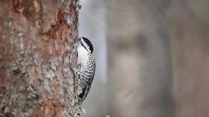Feeding Black-backed Woodpecker