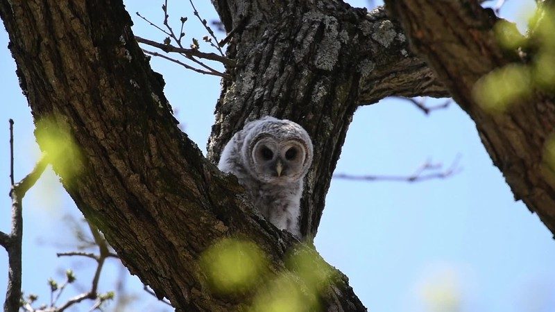 Barred Owl Owlette