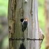 Calling Red-bellied Woodpecker