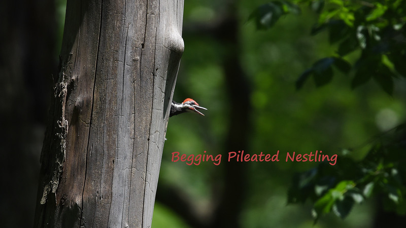 Pileated Woodpecker Nestling