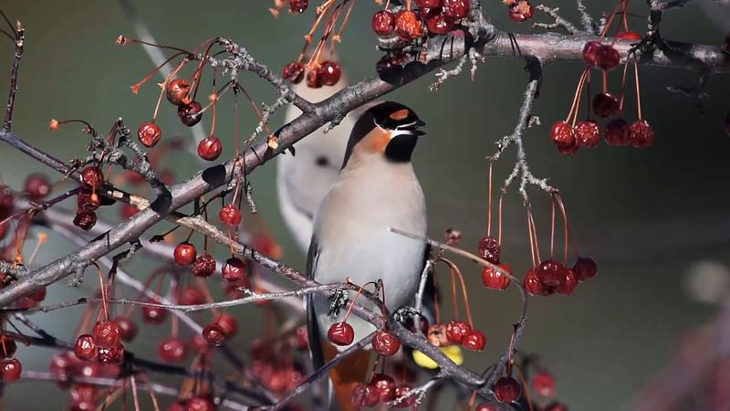 Bohemian Waxwings Eating Cherries