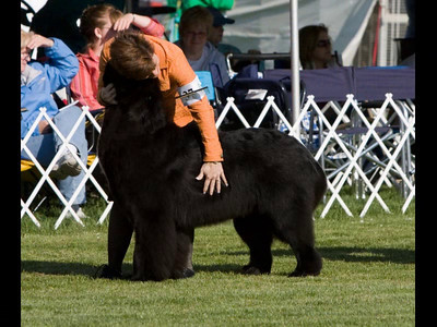 This video is of my little boy, Council Cup's Master of the Sea....Bismarck... showing at the Newfoundland National Specialty, 2010.  © Sharon Nummer   Bizzy was 11 months old showing in Puppy Dog Sweepstakes 9-12 months and in regular class 9-12 months .  I am so pleased and proud, Bizzy took a 3rd place each day in his class.  Bizzy was expertly handled and groomed by Karen and Sam Mammano.  All photos were taken by me, his proud Mom.