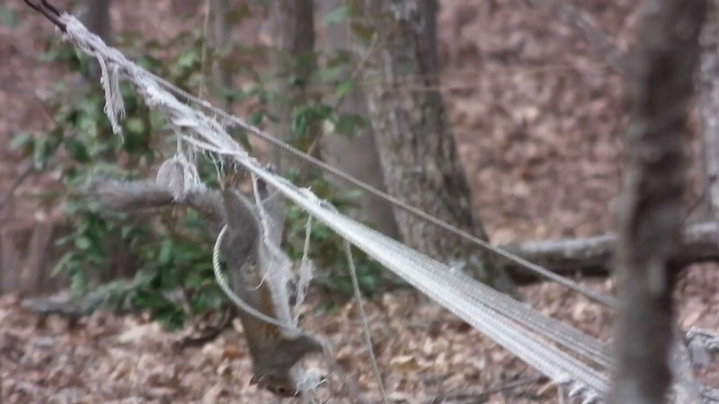 Squirrel Gathering Rope From Hammock - Not Clear Video But Hilarious - 4/4/13<br /> I was quite a long distance from the squirrel but had to try to get a video of this.  They have enjoyed that hammock so greatly and we have called it the Squirrel Swat Team Training Camp since they would jump all over the hammock, chase and fall, and climb up the hanging ropes, so we left it there for them … until they had it on the ground a month later.