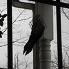 Pileated Woodpecker at Suet Feeder - Dreary Day  2-22-11
