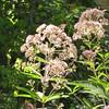 Butterflies on Joe Pye Weed Blooms 7-30-10