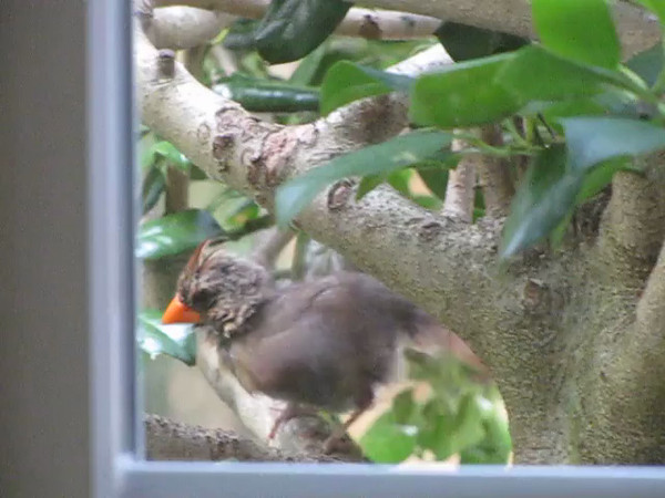 VIDEO:  Young Female Cardinal Cleaning Up After Time In The Bird Bath - 8/9/13<br /> Taken through the kitchen window.