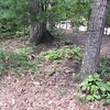 VIDEO:  Pair of Black Swallowtail Butterflies Dancing in the Woods - 8/1/13