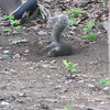 VIDEO:  Squirrel Having a Rolling Time in the Dirt - 6/1/14