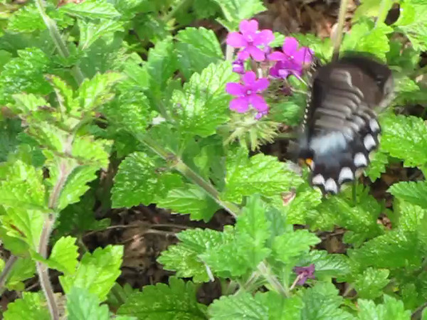 Black Swallowtail Butterfly on Verbena - 7/28/13<br /> I love the polka dot body!