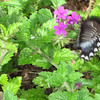 Black Swallowtail Butterfly on Verbena - 7/28/13<br /> I love the polka dot body!