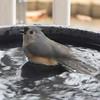 Tufted Titmouse Bathing 1-17-12