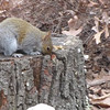 Squirrel Digging in Tree Trunk  1-17-11