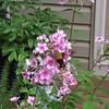 Hummingbird Moth at Flowers 7-8-11