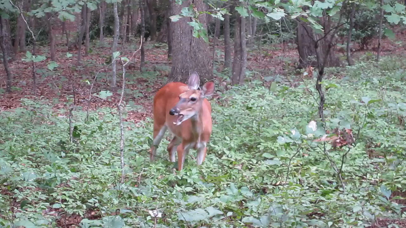 VIDEO:  Mama Love Deer Eating Apples in Backyard - 8/17/13<br /> This was the day I discovered Love Deer was a Mama.  The two fawns that appear with her now and then began nursing after I was low enough to the ground to see that she was a nursing doe.  Really surprised that she mated and delivered two fawns.  Incredible!