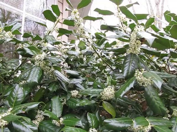 VIDEO:  Pollinators Love the Holly Blooms - 4/22/14