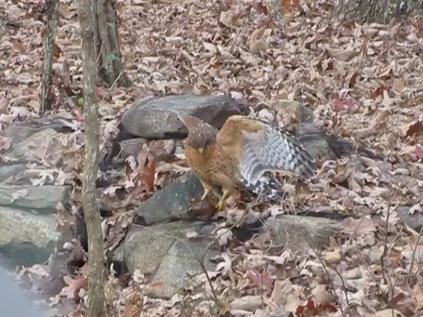 VIDEO:  Red-shouldered Hawk at Pond - 11/23/13