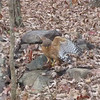VIDEO:  Red-shouldered Hawk at Pond - 11/23/13