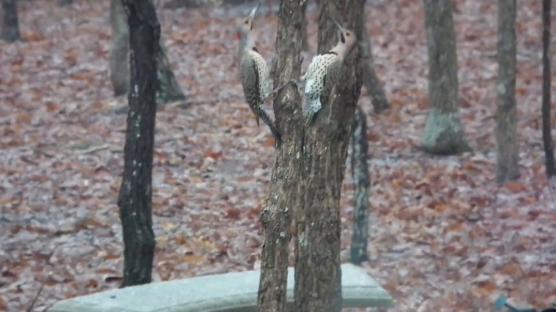 VIDEO - Two Male Yellow-shafted Northern Flickers Getting Territorial in Mating Season - March 5,  2015