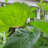 Ants Protecting Something on Leaf of Rudbekia Black-eyed Susans  8-24-10