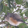 Tufted Titmouse Eating Snow 12-19-09