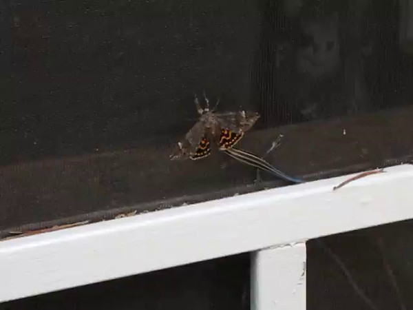 Video - Juvenile Skink with Fighting-For-Life Moth  5-19-15