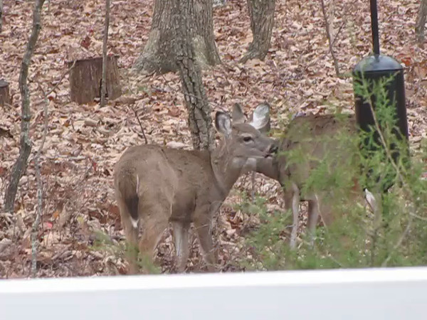 VIDEO:  Two Young Deer Siblings Cleaning Each Other - 11/21/13