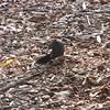 Gray Catbird - Breakfast on the Run 7-22-11