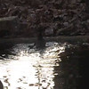 "Video: Robin Bathing in Pond - December 2013<br /> We cover our pond with netting for the Fall/Winter so some birds seem to know they can ""stand on water"" with it being there.  Makes me nervous."