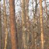 Springtime Squirrel Mating - 3/30/13