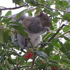 Squirrel Eating Holly Berries in Snow  1-26-11