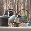 VIDEO: Male Pileated Woodpecker at Suet Feeder  11-27-15<br /> Male Pileated Woodpeckers have a red side mustasche on both sides of the face.  The females are black.