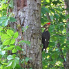 Pileated Woodpecker Eating From Dead Tree  5-9-11