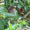 Baby Cardinal Out of the Nest - A Whole New World to Explore 4-29-12