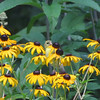 VIDEO:  American Goldfinch Eating Seeds on Black-eyed Susan - 7/22/13