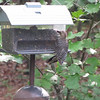 After Tapping on the Box Trying to Get Food Out Like The Parent, This Red-bellied Woodpecker Fledgling Gave Up, Squealing to Convince The Mama to Feed It   6-20-11