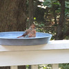 Bathing Cardinal on Deck 9-14-11