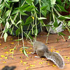 Squirrel Eating Black-eyed Susan Leaves on Deck  8-13-09