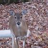 Deer Drinking at Pond 11-15-09